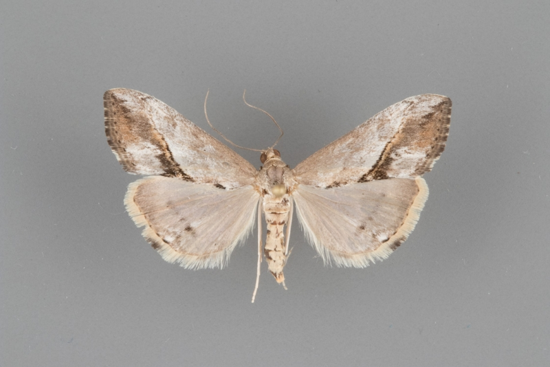 4914 Evergestis triangularis female