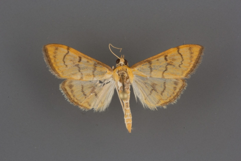 4959 Anania labeculalis male