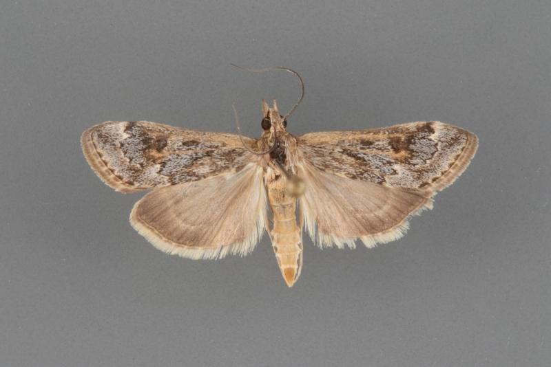 5000 Loxostege allectalis male (II-45)