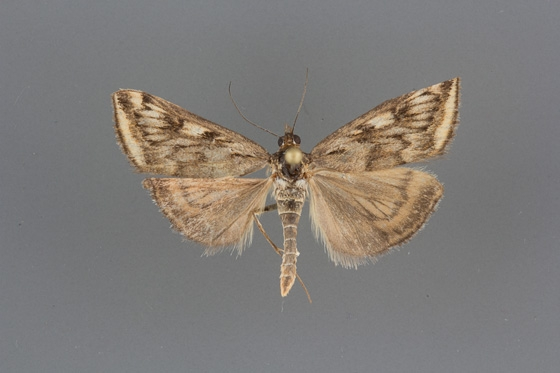 5017 Loxostege cereralis male