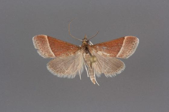5027 Pyrausta lethalis male