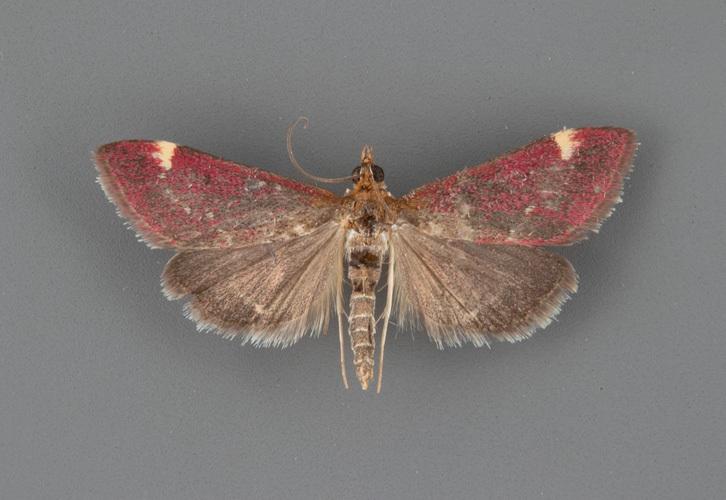 5033-Pyrausta-grotei-male