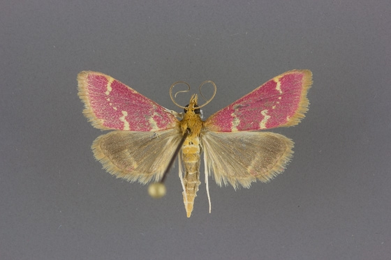 5034 Pyrausta signatalis male