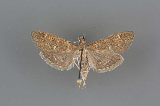 5137 Mecyna mustelinalis male