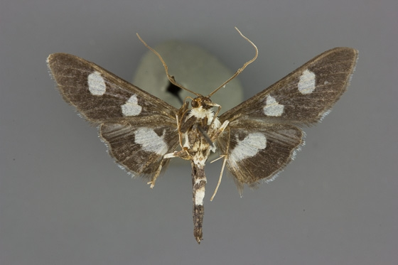 5160 Desmia maculalis male ventral