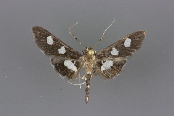 5160 Desmia maculalis male