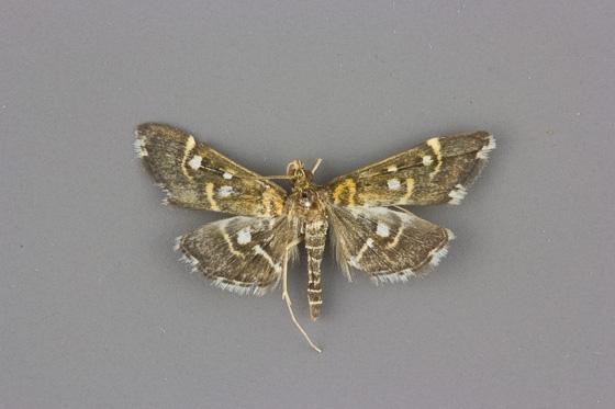 5175 Diathrausta harlequinalis male