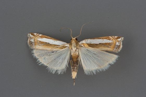 5373Crambus cyrilellus male