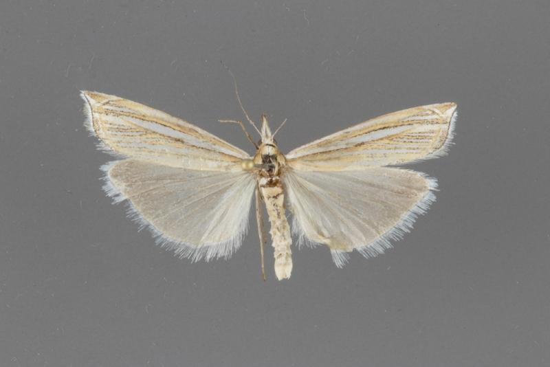 5376 Crambus sargentellus male
