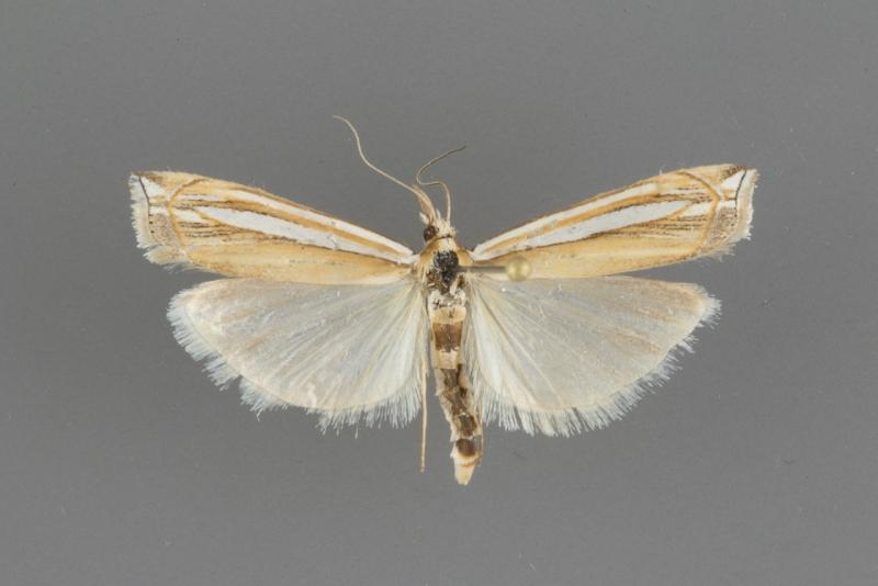 5377 Crambus angustexon male