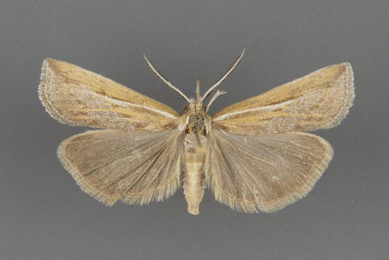 5439 Thaumatopsis pexellus-male