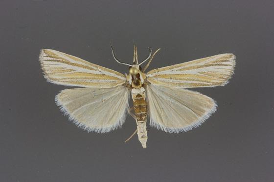 5440 Thaumatopsis magnificus male 2