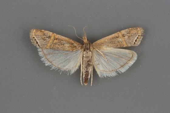5454 Euchromius ocellea male