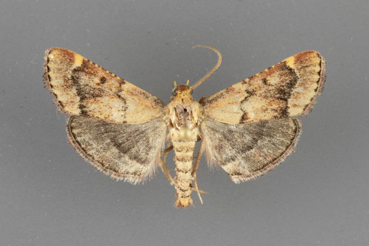 5528 Hypsopygia cohortalis male ii-139