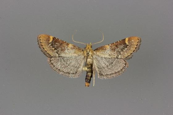 5528 Hypsopygia cohortalis male