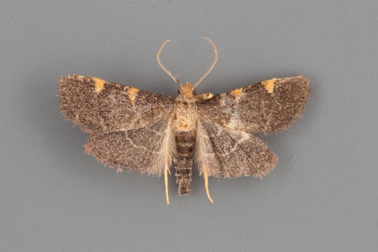 5530-Hypsopygia-binodulalis-male