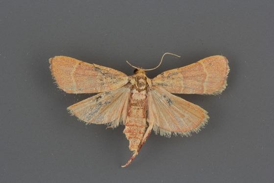 5537 Caphys arizonensis