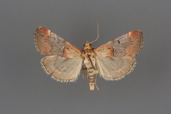 5580 Cacozelia basiochrealis male