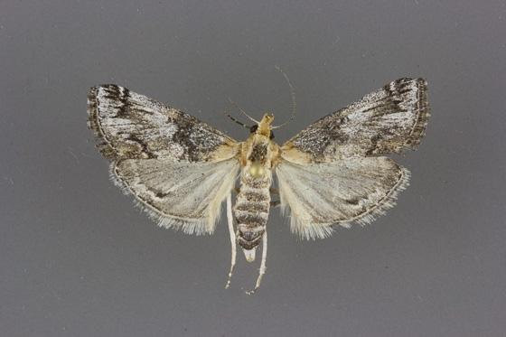 5585 Toripalpus trabalis female