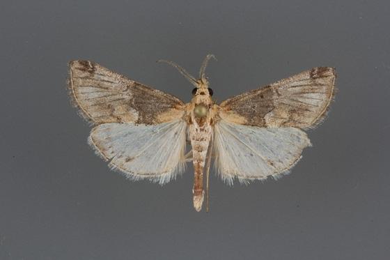 5585 Toripalpus trabalis male