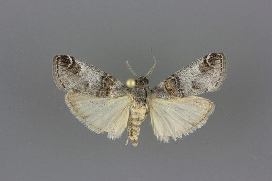 5589 Oneida luniferella male