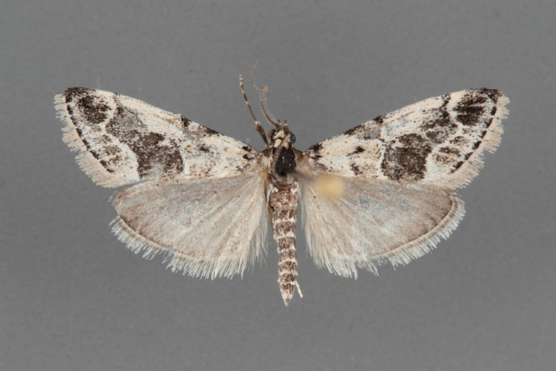 5593-Tallula-baboquivarialis-male-second-specimen