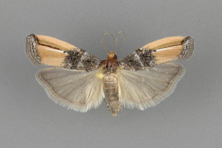 5730 Dasypyga alternosquamella-male-ii-141