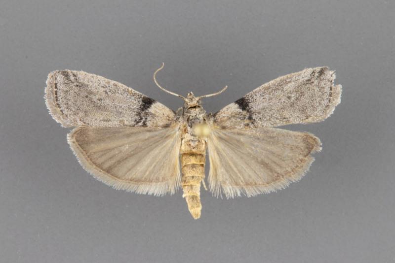 5785.1-Meroptera-anaimella-male