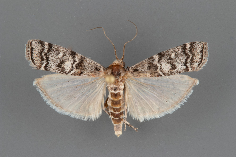 5850-Dioryctria-ponderosae-male