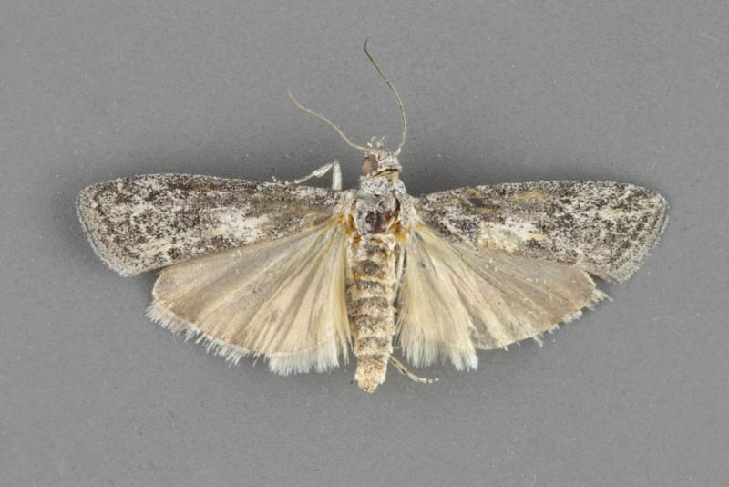 5901-Tacoma-feriella-male
