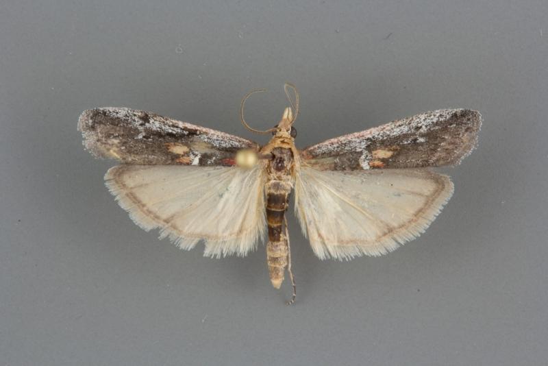 5919 Honora mellinella male
