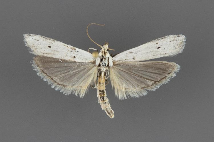5939-Homoeosoma-illuviella