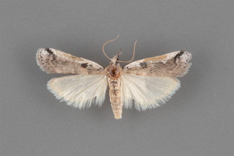 5960 Rostrolaetilia nigromaculella male