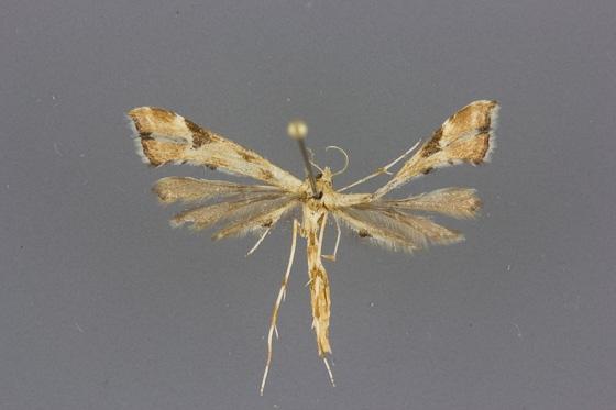 6109 Platyptilia carduidactyla male