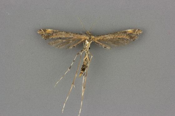 6117 Anstenoptilia marmarodactyla