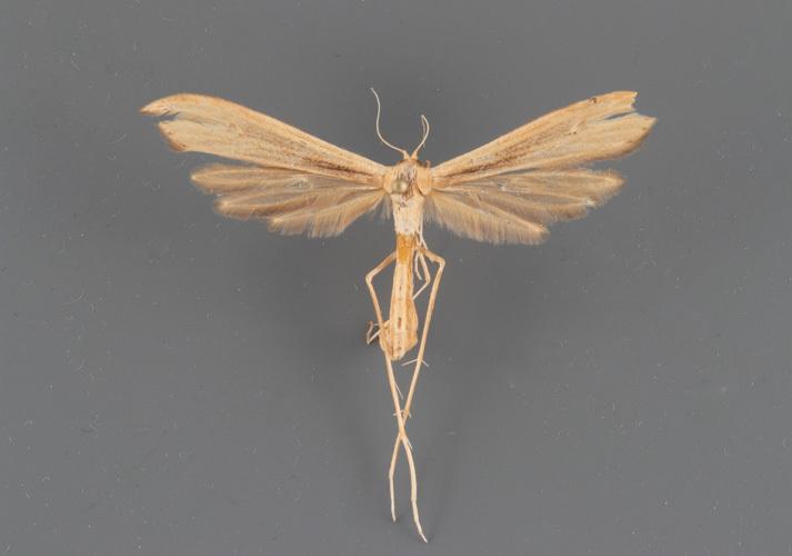6211 Hellinsia grandis female