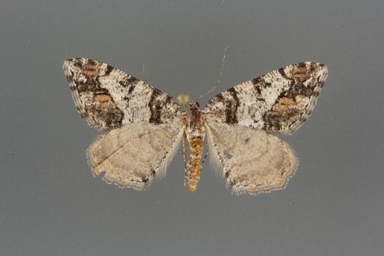 6312 Macaria deceptrix