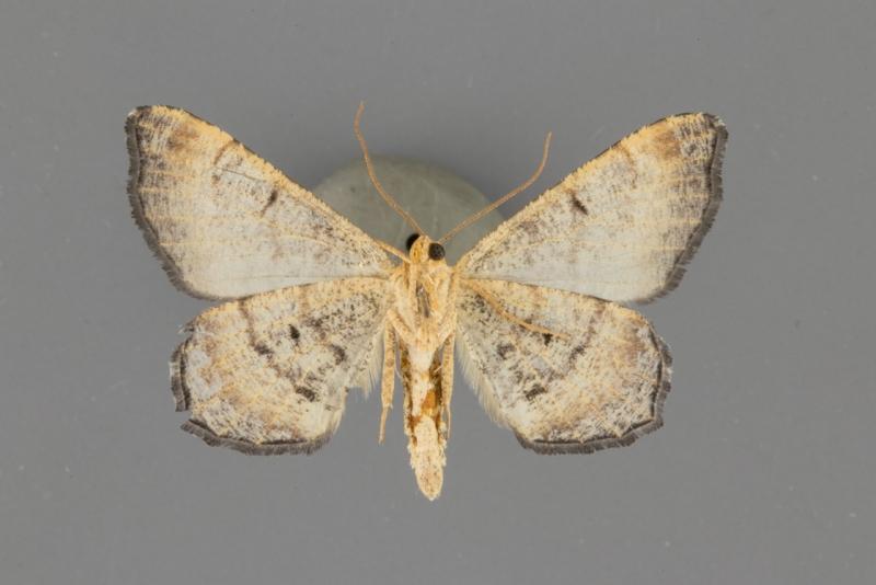 6338.1 Macaria ponderosae male ventral