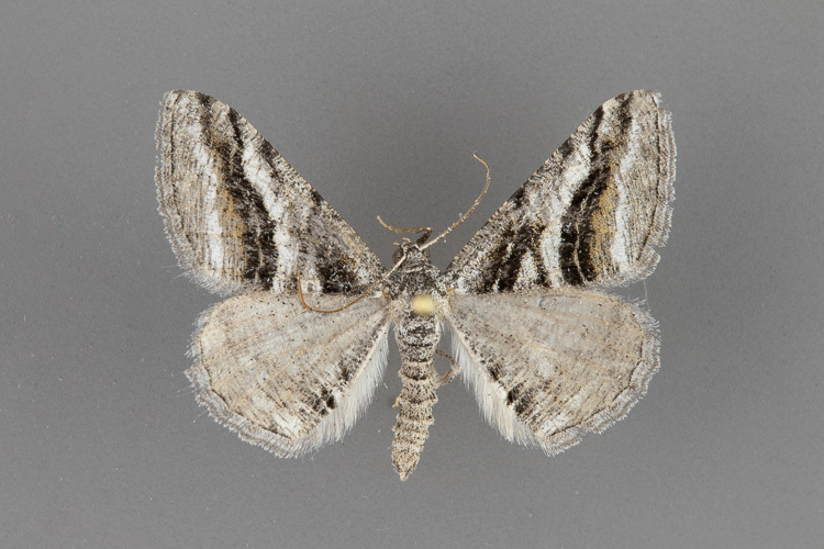6368-Digrammia-atrofasciata-male-ii-187