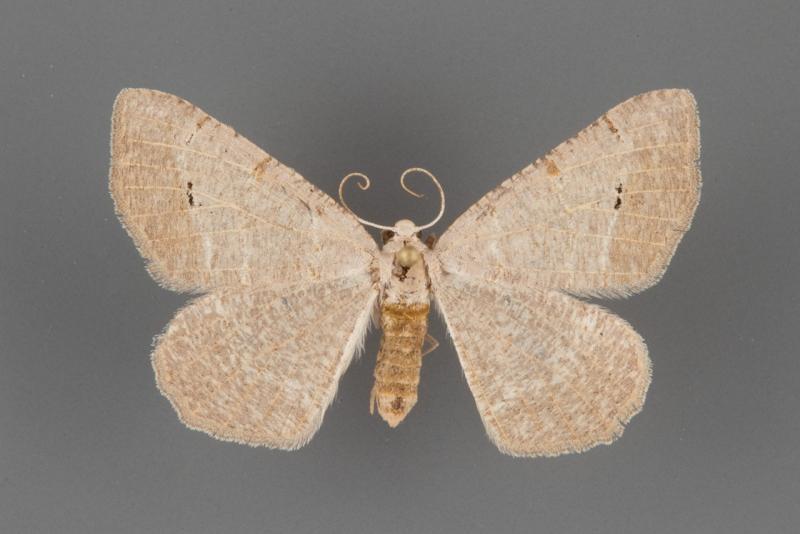 6419 Isturgia dislocaria female