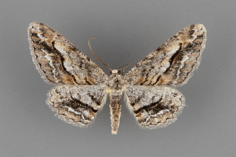 6465-Stenoporpia-vernata-male-ii-103