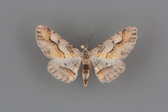6470 Stenoporpia macdunnoughi male