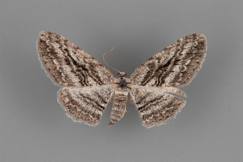 6577 Iridopsis obliquaria female