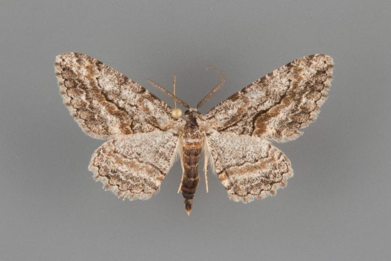 6591 Anavitrinella atristrigaria male