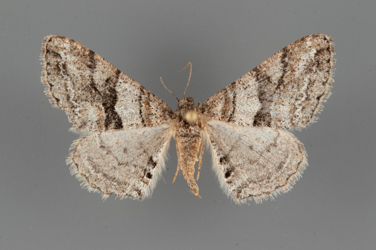6613-Prionomelia-spododea-female
