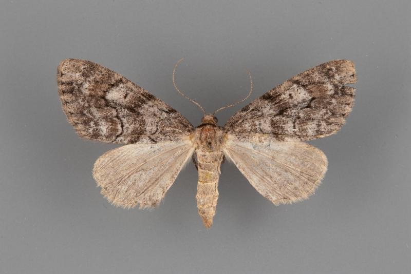 6630 Galenara lixaria female