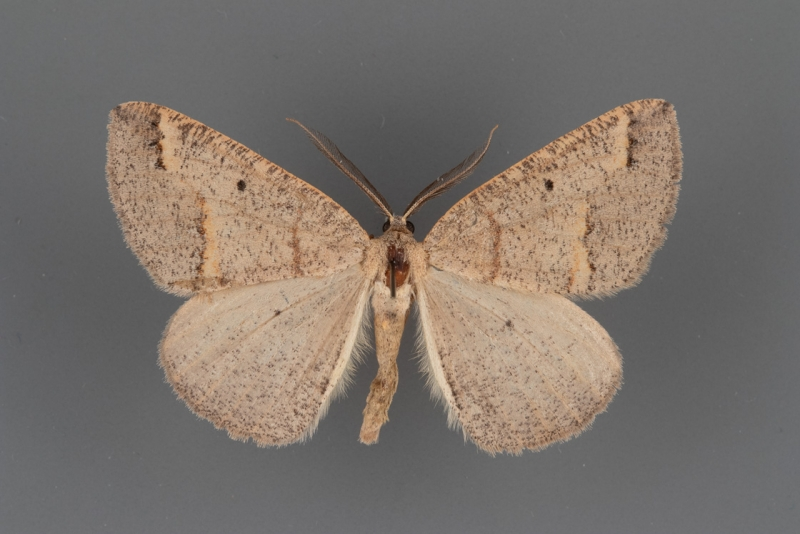 6682 Drepanulatrix unicalcararia male