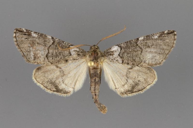 6779 Ceratonyx permagnaria male