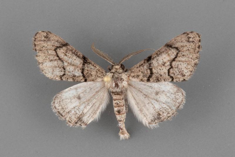 6783-Gabriola-minima-male