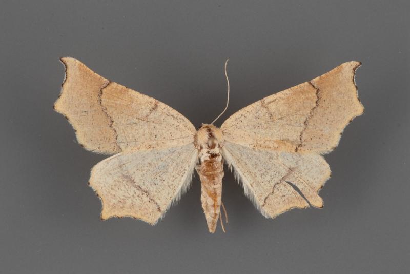 6854 Eriplatymetra grotearia female
